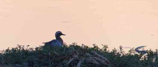 A Garganey drake is quite unmistakable in the field