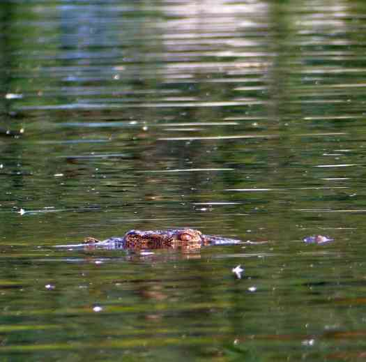 A marsh crocodile watches from the river