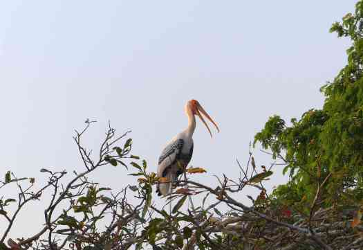 Painted Storks were also ready to nest