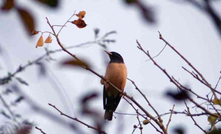 Finally, one Rosy Starling sat still