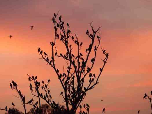 Winter Birding - Seasonal migrants like Rosy Starlings add some panache