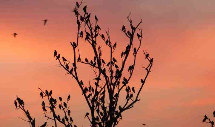 Winter Birding - Seasonal migrants like Rosy Starlings add some panache