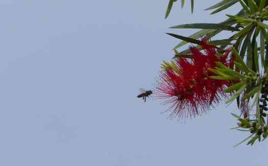 A bee in the Nilgiris