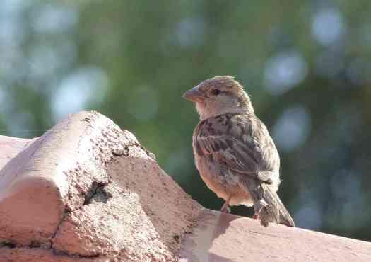 Female House Sparrow in the Nilgiris
