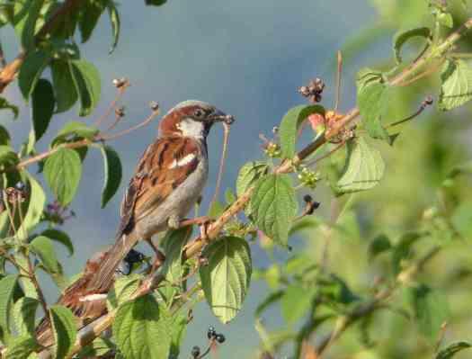 Male House Sparrow in the Nilgiris