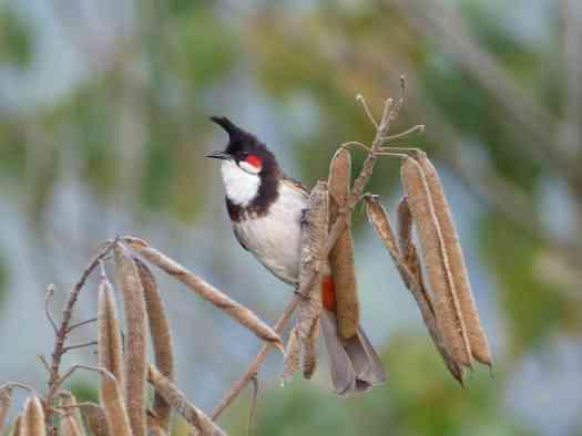Red-whiskered Bulbul in the Nilgiris