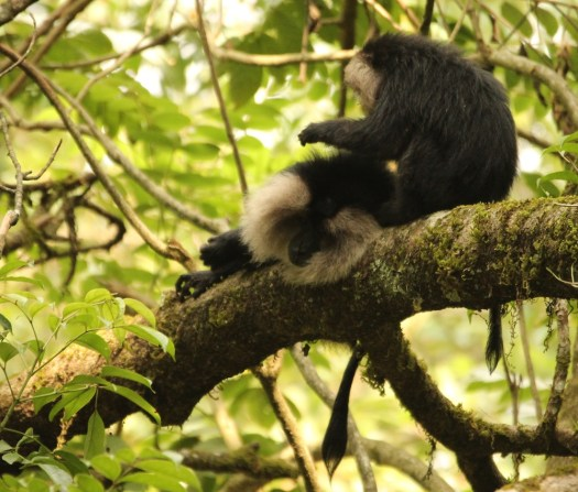 Lion-tailed Macaques grooming