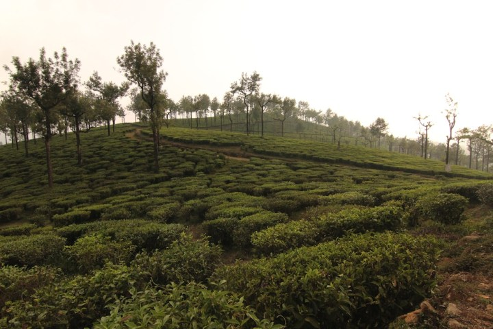 Sunset brings out a vivid image of the tea garden in Valparai