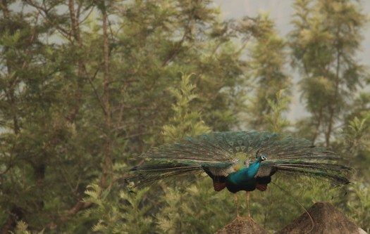 The reluctant peafowl. This was the extent it raised its feathers
