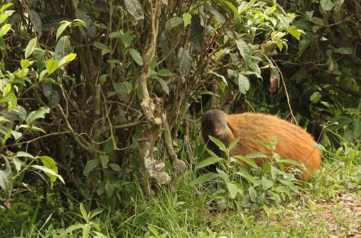 Stripe Necked Mongoose were a common sight in Valparai