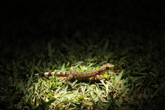 Gecko in Valparai