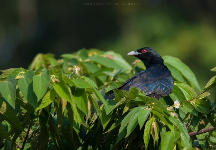 The red eyed crow - the Asian Koel