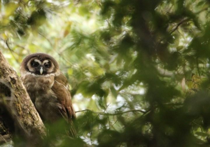 A Brown Wood Owl
