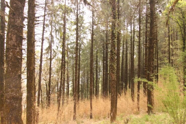 Deodar forest in Pangot
