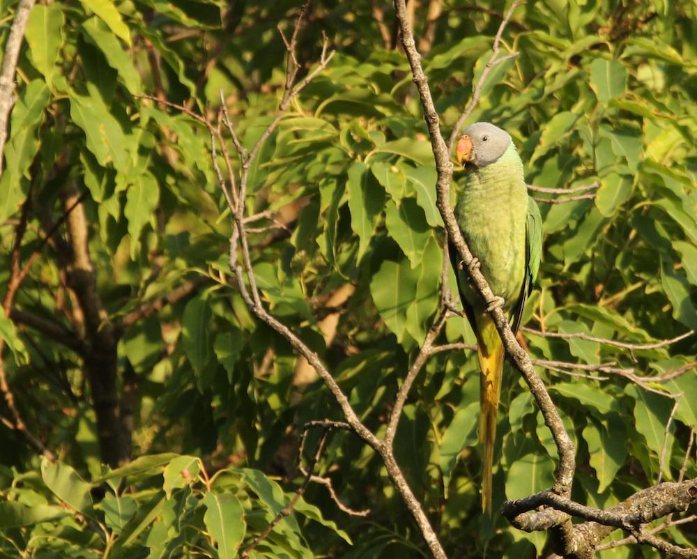 Slaty-headed Parakeet in Pangot