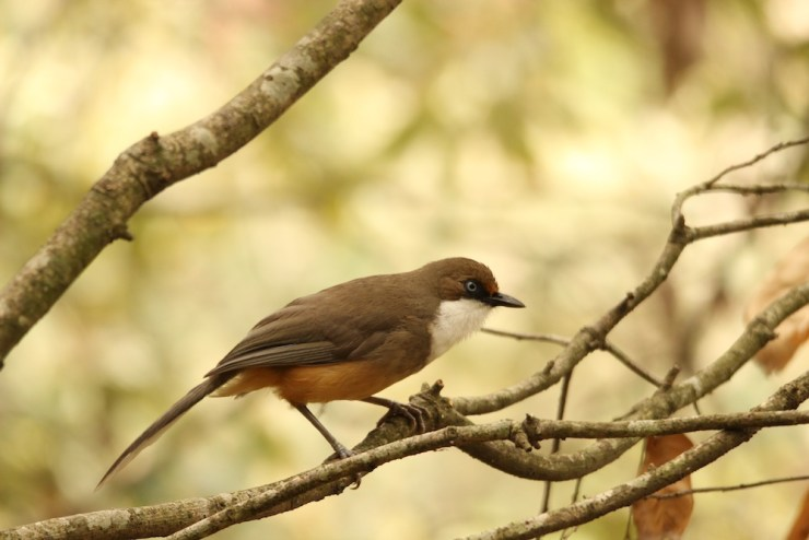 The White-throated Laughingthrush always hung out in social groups of around half a dozen