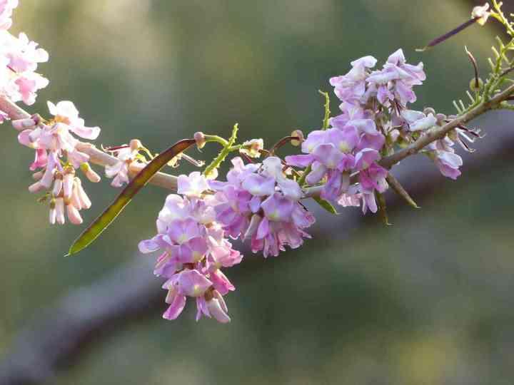 Gliricidia in flower at Horsley Hills