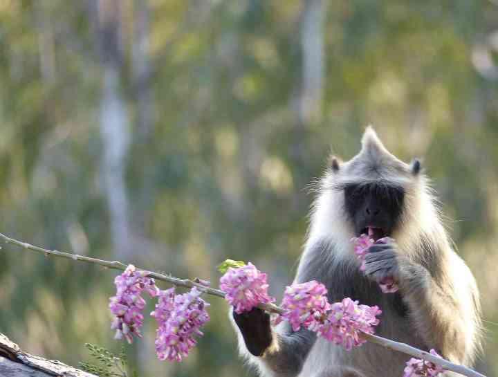 Tufted Gray Langur feeding on Gliricidia flowers at Horsley Hills