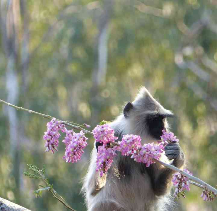 Tufted Gray Langur feeding on Gliricidia flowers at Horsley Hills