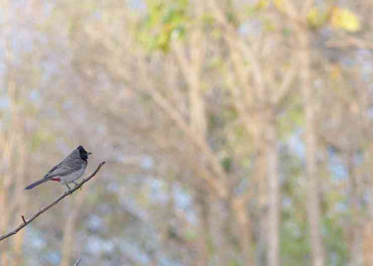 Red-vented Bulbul at Manchanabele