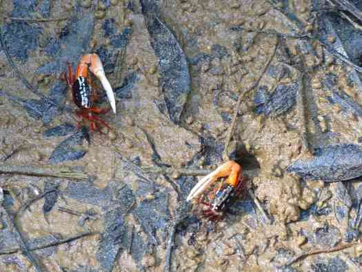 Fiddler Crabs indulge in a spot of sabre-rattling in the brackish creeks