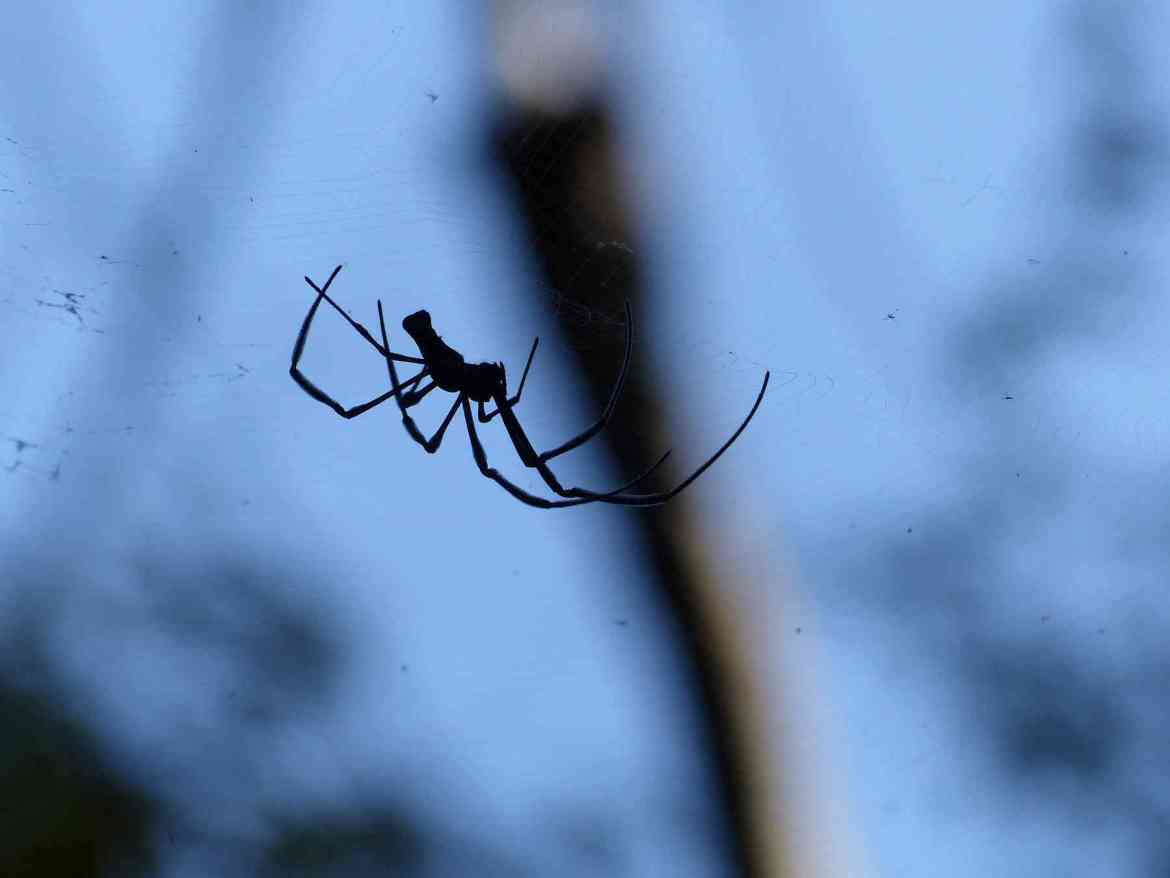 A Wood Spider mans the little skies of the forest