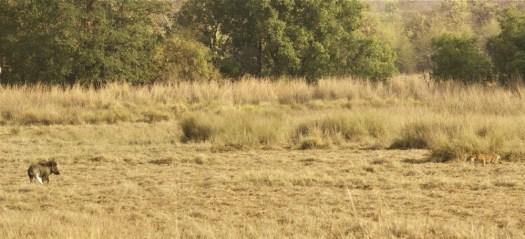 Tadoba Tiger - Choti Tara cub