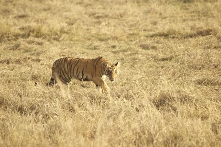 Tadoba tiger - Choti Tara cubs