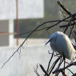 Backyard Birding Notes from Kasavanahalli Lake in winter
