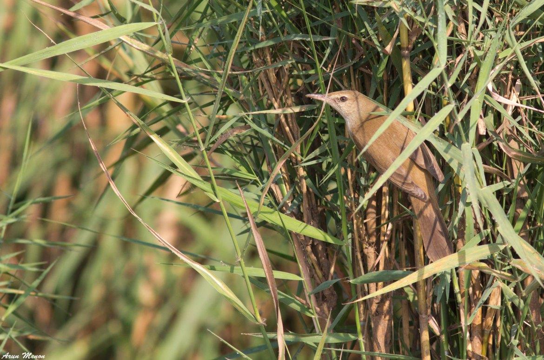 Clamorous Reed-Warbler at Mangalajodi