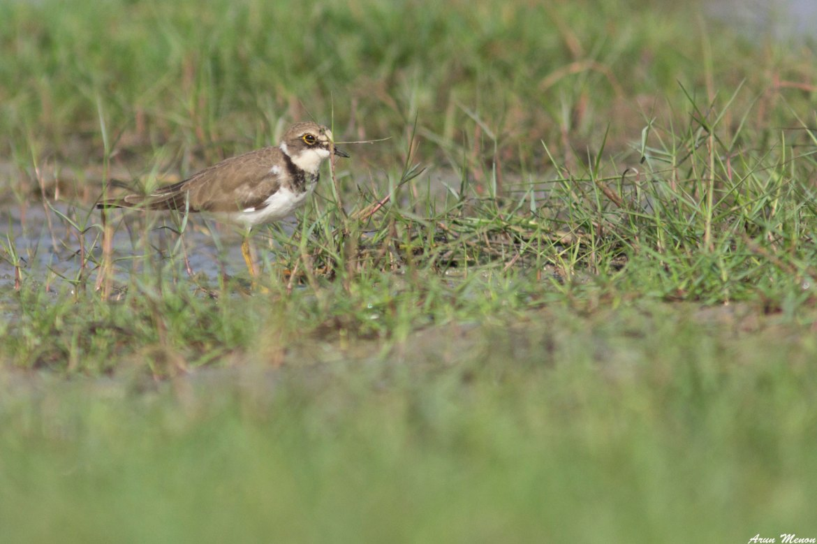 Little Ringed Plover at Mangalajodi