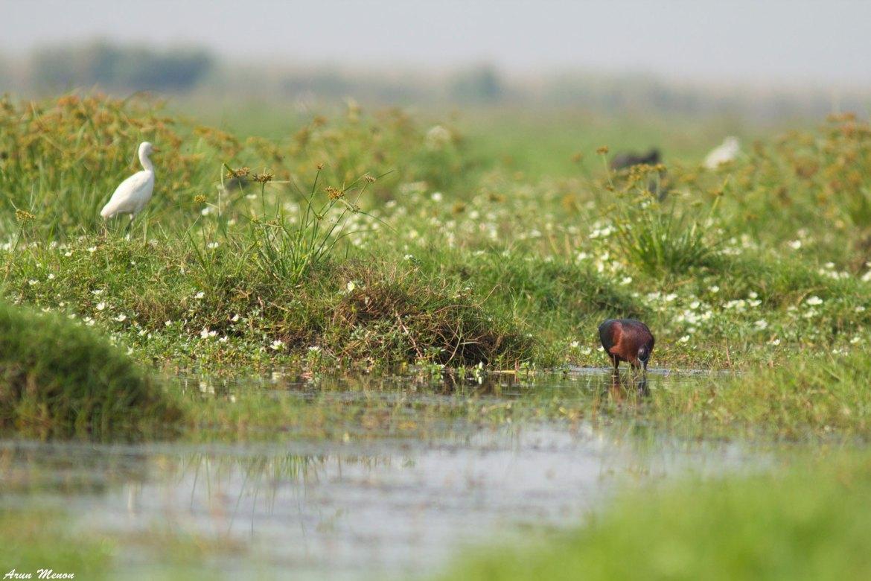 Mangalajodi birding