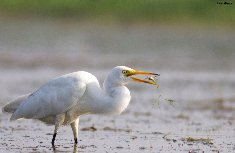 A Great Egret tosses a fish at Mangalajodi