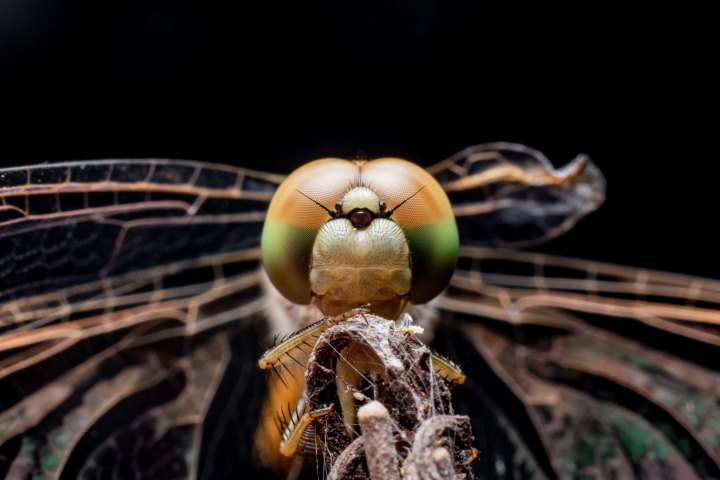 Macro photography dragonfly