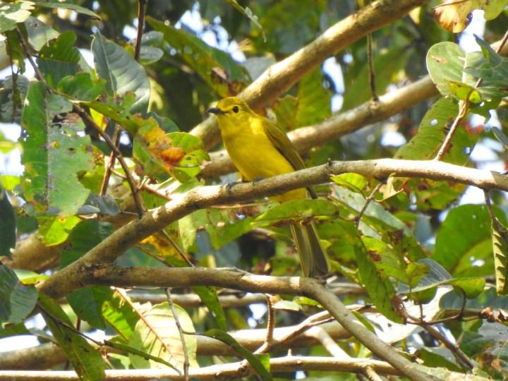 Yellow-browed Bulbul at Dandeli