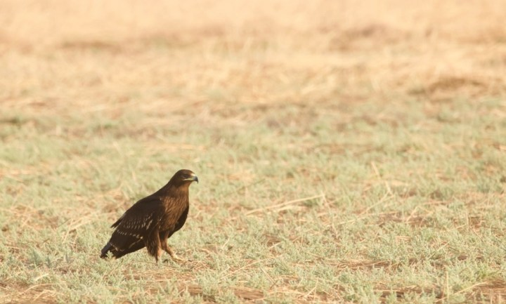 Greater Spotted Eagle at Banni