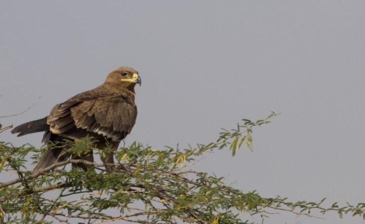 Steppe Eagle Kutch