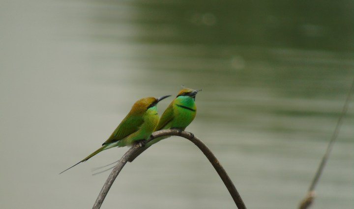 Green Bee-eaters at Doddanekundi Lake