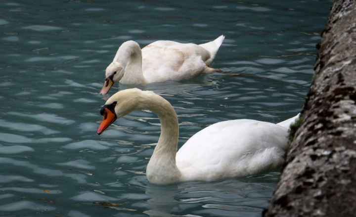 Mute Swans on Lake Brienz