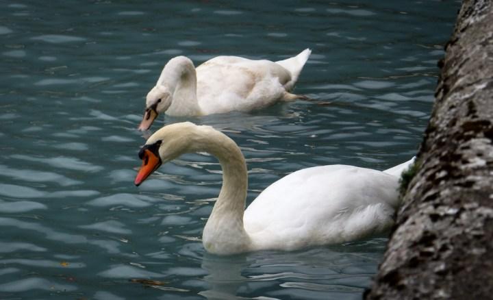 Mute Swans on Lake Brienz