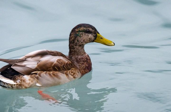 Mallard at Lake Brienz