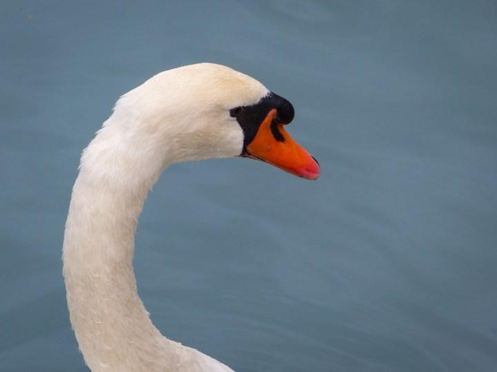Mute Swan on Lake Brienz