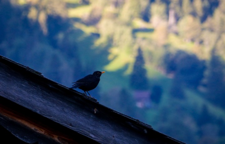 Eurasian Blackbird in Grindelwald