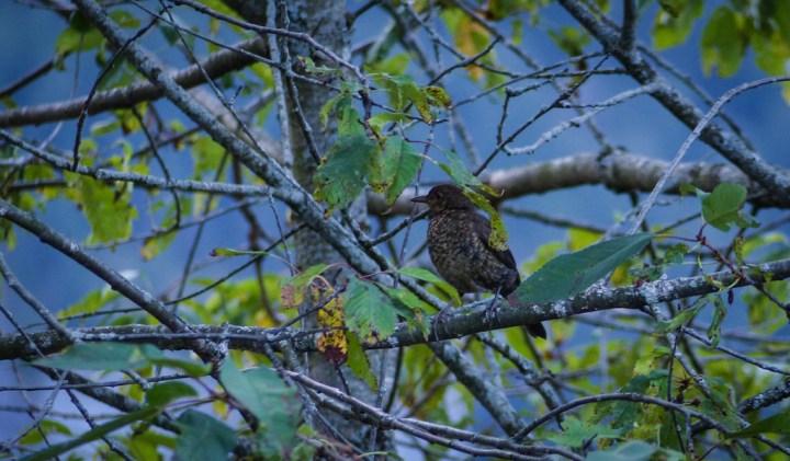 Juvenile blackbird in Grindelwald
