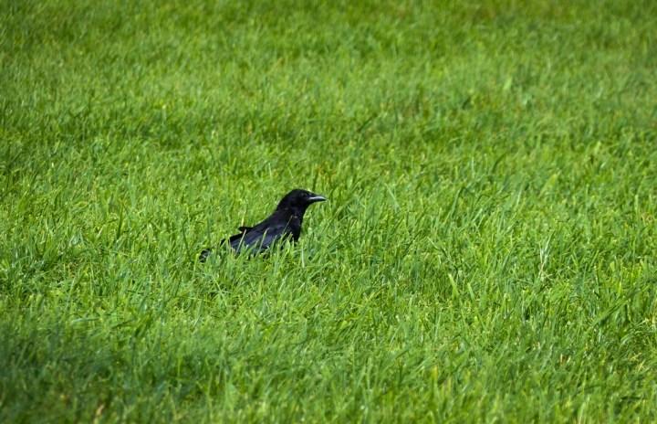 Carrion Crow in Switzerland