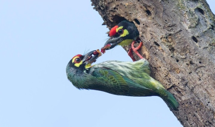 Coppersmith Barbets at a nest in a dead tree