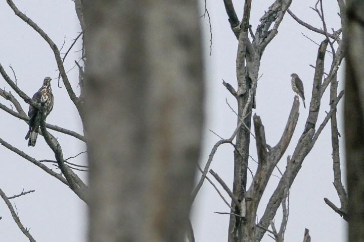 Raptors on a dead tree