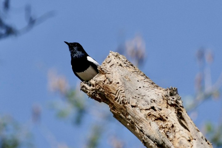 An Oriental Magpie-Robin on a dead tree