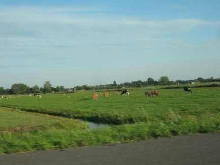 holland-cows