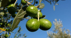 Olives On the Tree - Before Processing
